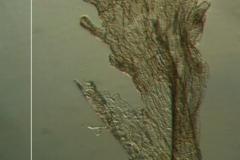 Cuscuta tuberculata, scale