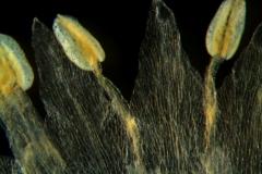 Cuscuta tuberculata, corolla lobes and stamens