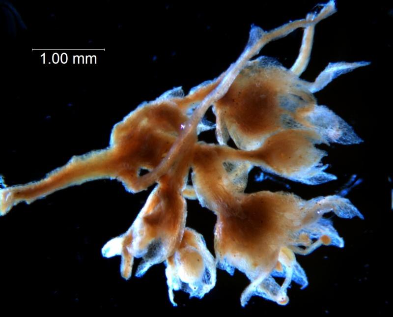 Cuscuta umbellata var. desertorum, inflorescence fragment