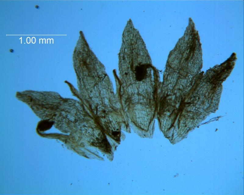 Cuscuta umbellata var. desertorum; corolla dissected