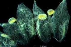 Cuscuta umbellata Kunth, var. umbellata; corolla, dissected