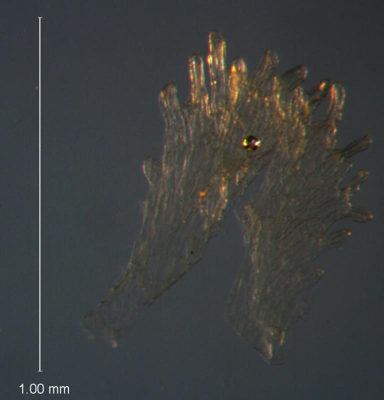 Cuscuta umbellata Kunth, var. umbellata; scale
