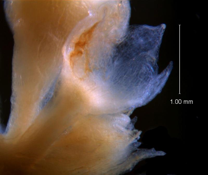 Cuscuta umbellata Kunth, var. umbellata; calyx 3D