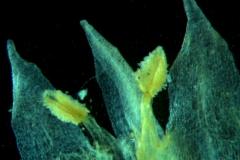 Cuscuta acuta, corolla dissected