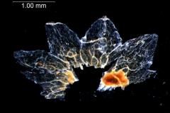 Cuscuta umbellata, dissected calyx