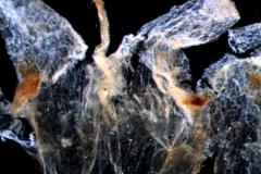 Cuscuta umbellata, dissected corolla