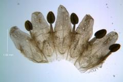 Cuscuta umbellata var. umbellata, corolla - dissected