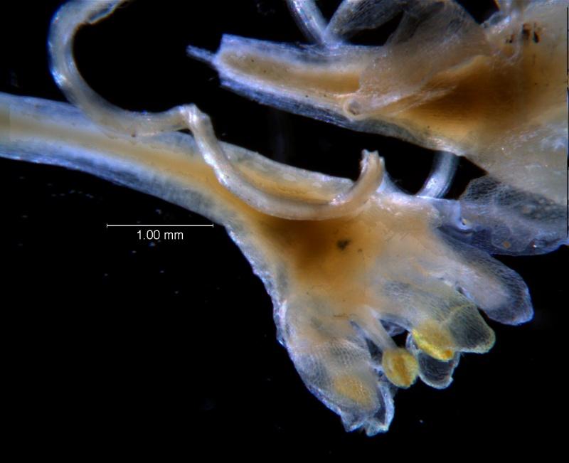 Cuscuta umbellata var. umbellata, flower
