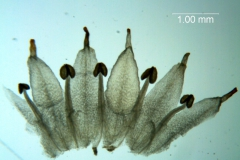 Cuscuta bonafortunae, corolla dissected