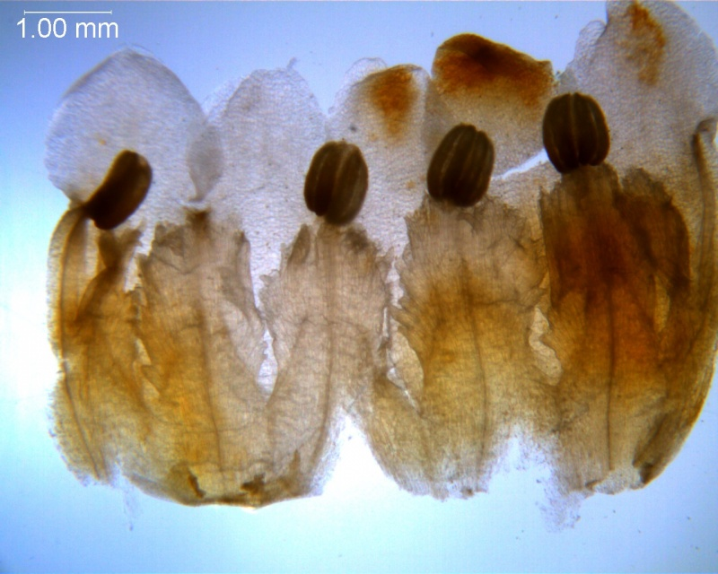 Cuscuta carnosa, corolla dissected