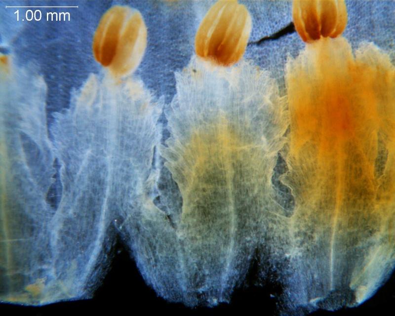 Cuscuta carnosa, corolla dissected -- infrastaminal scales