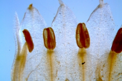 Cuscuta chapalana, corolla dissected: lobes
