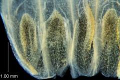 Cuscuta chapalana, corolla dissected: base