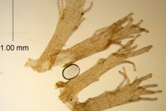 Cuscuta chapalana, detached infrastaminal scales