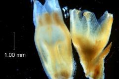 Cuscuta chapalana, calyx and corolla 3D