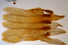 Cuscuta chapalana, corolla dissected