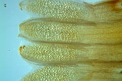 Cuscuta chapalana, corolla dissected: scales