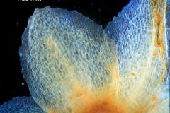 Cuscuta mexicana, calyx lobe detail