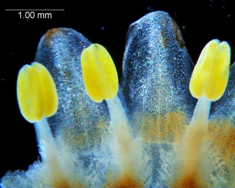 Cuscuta strobilacea var. pringlei, corolla lobes