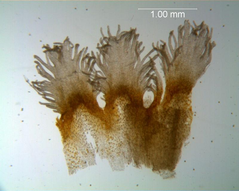 Cuscuta strobilacea var. pringlei, infrastaminal scales