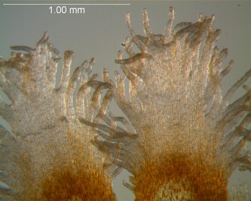 Cuscuta strobilacea var. pringlei, infrastaminal scales detail