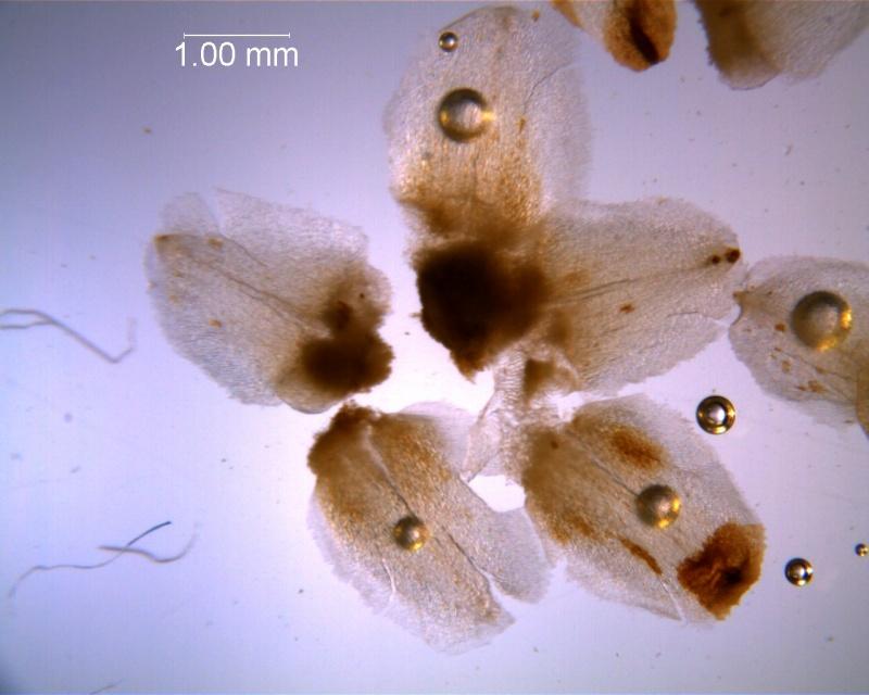 Cuscuta strobilacea var. pringlei, calyx