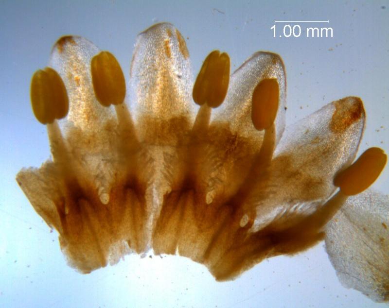 Cuscuta strobilacea var. pringlei, corolla dissected