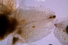 Cuscuta strobilacea var. pringlei, calyx lobe