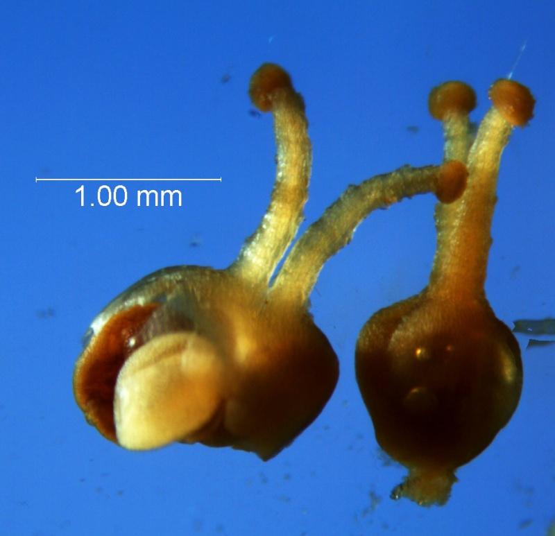 Cuscuta boldinghii, gynoecium and capsule
