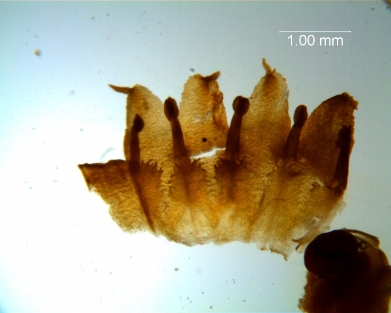 Cuscuta boldinghii, dissected corolla
