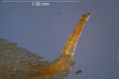 Cuscuta boldinghii, calyx appendage