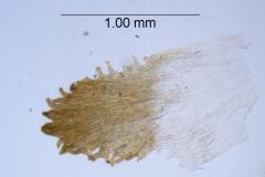 Cuscuta boldinghii, infrastaminal scale detail