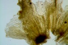 Cuscuta alata, calyx dissected (lobes detail)
