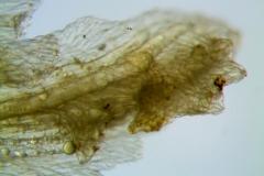 Cuscuta alata, calyx dissected (lobe detail)