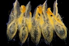 Cuscuta alata, corolla dissected