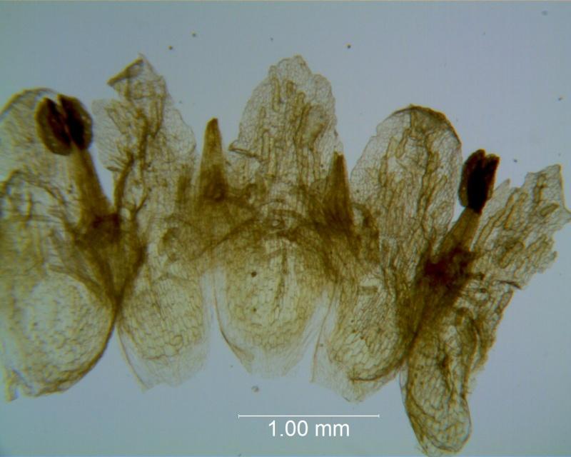 Cuscuta applanata, corolla dissected