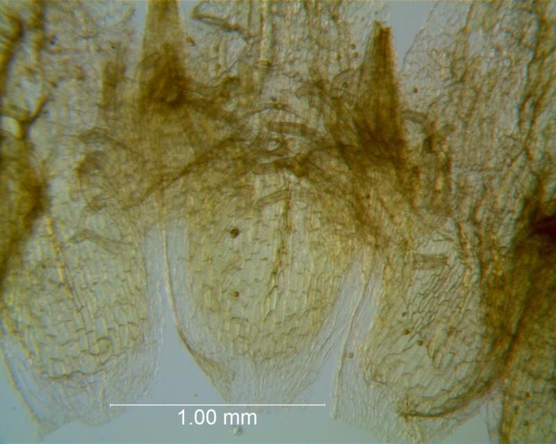 Cuscuta applanata, corolla dissected: infrastaminal scales