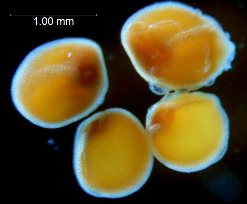 Cuscuta applanata, seeds