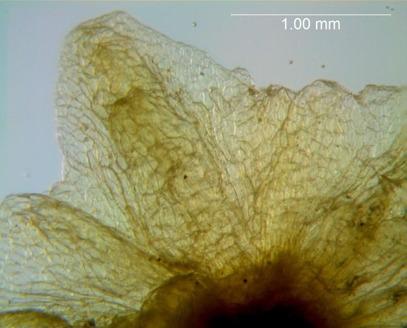 Cuscuta applanata, calyx lobe detail