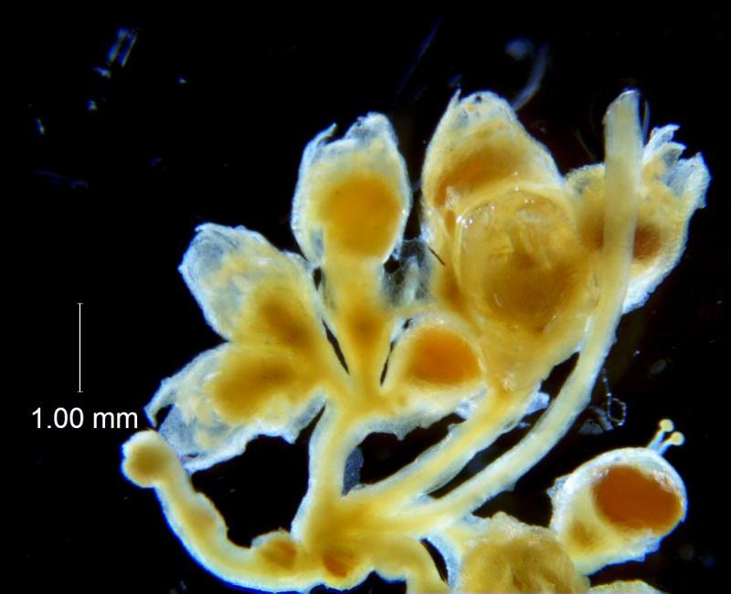 Cuscuta potosina, inflorescence