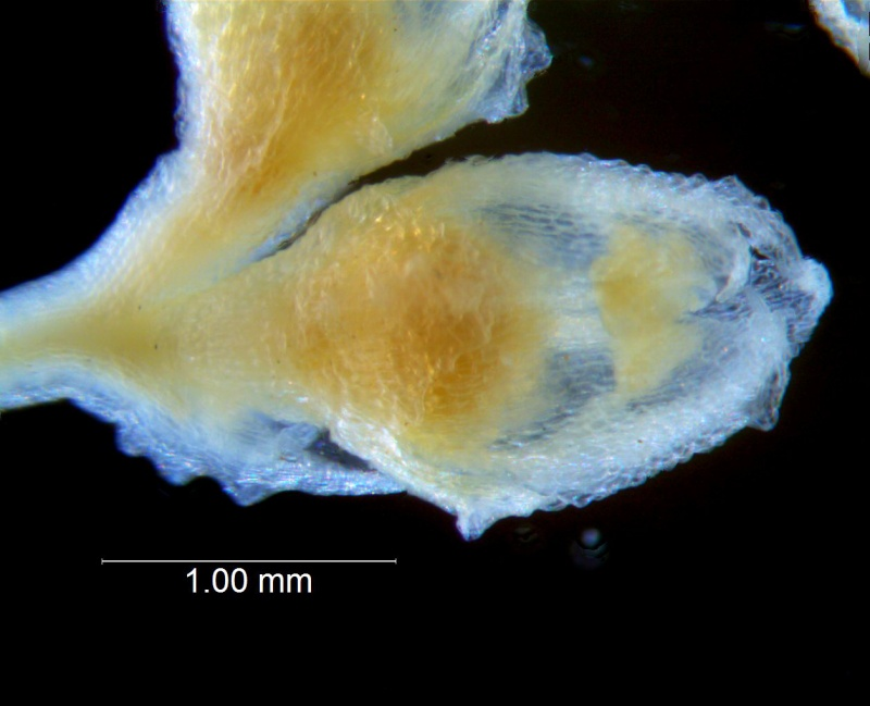 Cuscuta potosina, flower