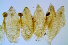 Cuscuta potosina, corolla dissected