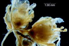Cuscuta carinata, fragment inflorescence