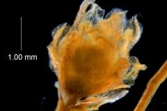 Cuscuta carinata , flower