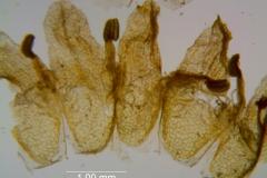 Cuscuta carinata, corolla, dissected
