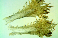 Cuscuta chinensis, infrastaminal scales