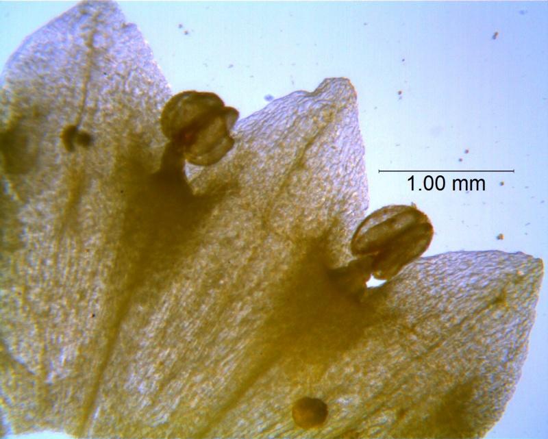 Cuscuta sandwichiana; corolla dissected, details (taken by Kristy Dockstader)