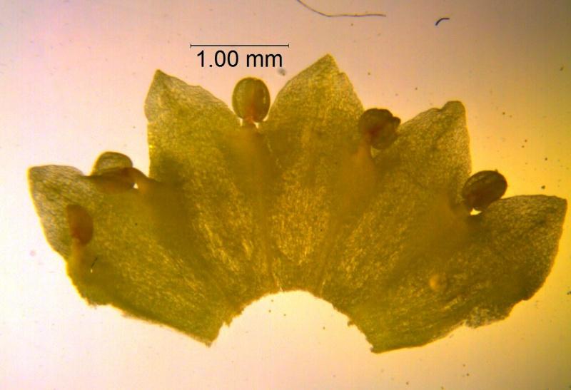 Cuscuta sandwichiana; corolla dissected (taken by Kristy Dockstader)