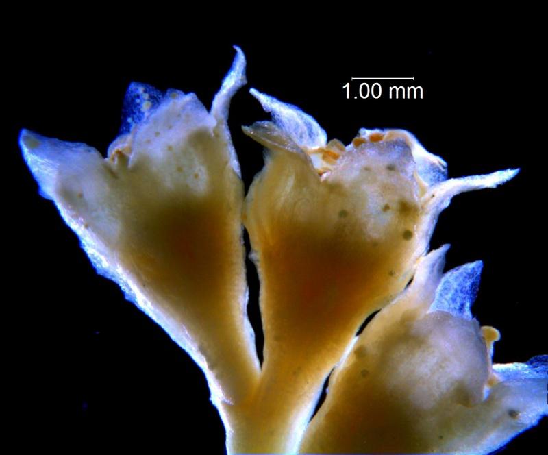 Cuscuta sandwichiana; flowers (taken by Kristy Dockstader)
