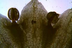 Cuscuta sandwichiana; corolla lobes detail (taken by Kristy Dockstader)
